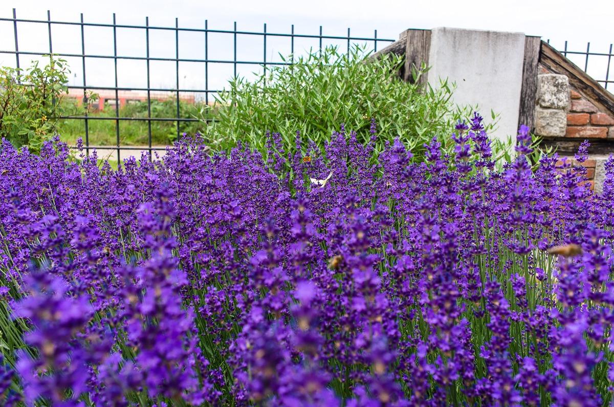 Es summt und schwirrt im Lavendel - Styx